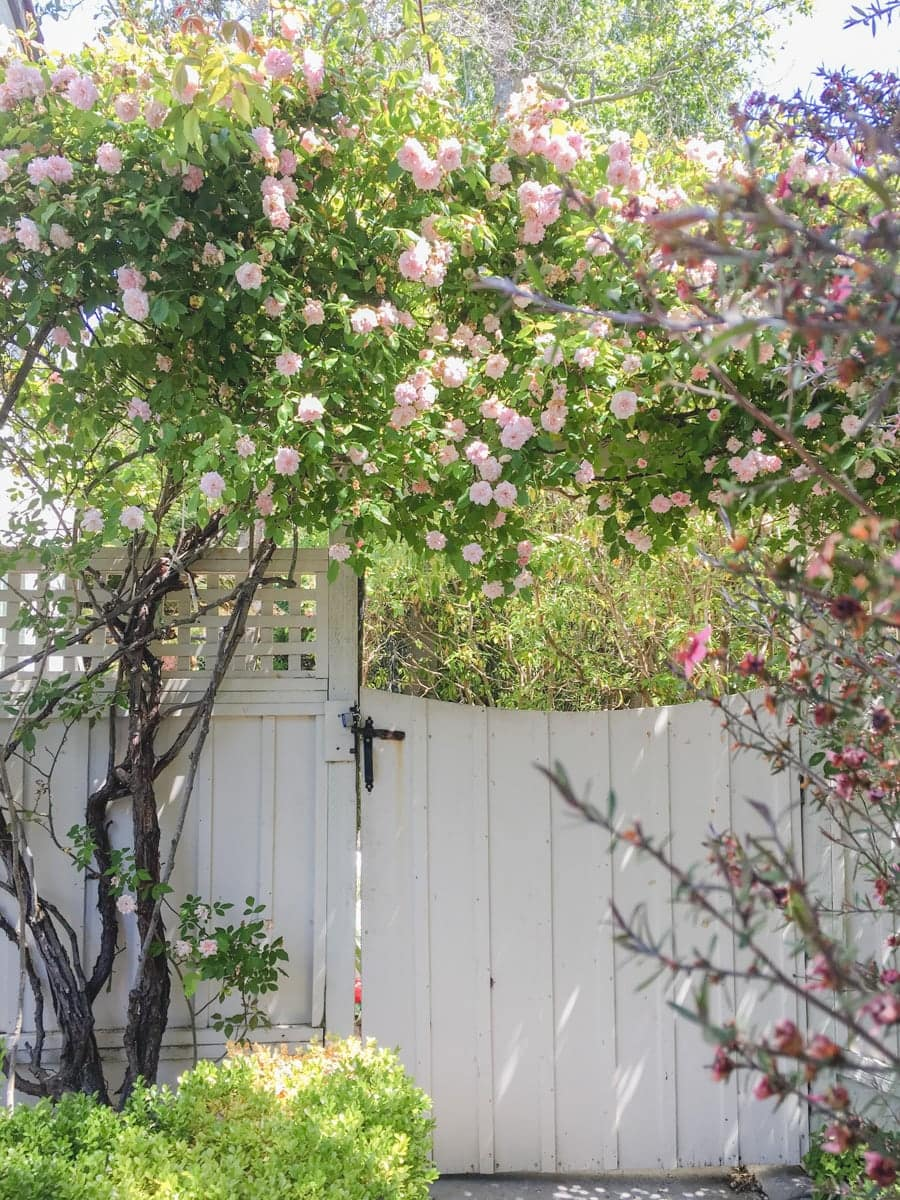 dream garden in north california with climbing roses and white gate, dreamy cottage garden