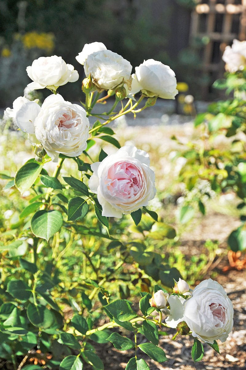 earth angel rose plant, continual blooming rose