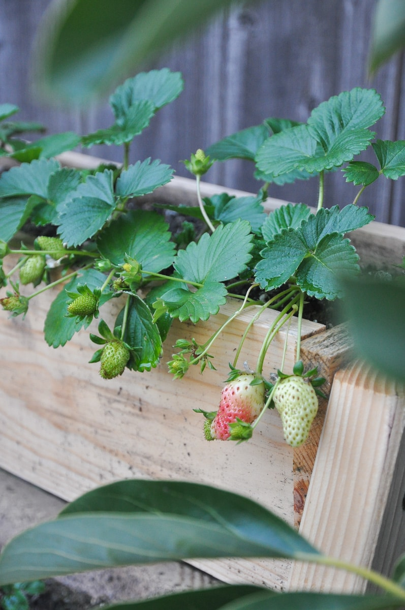 strawberry plant, summer garden tour, warm zone gardening, spring backyard garden