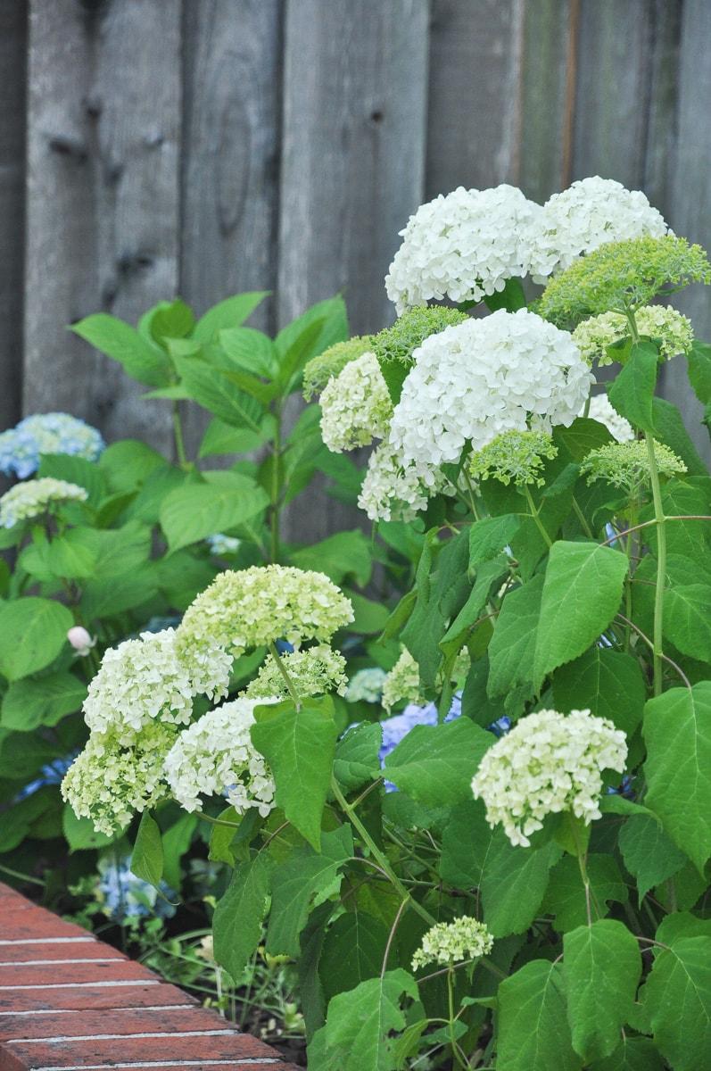 spring garden tour, Annabelle hydrangea plant and flowers