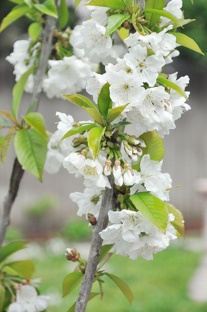 lapins cherry blossom