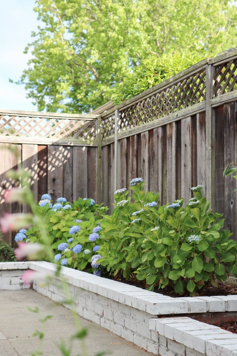 hydrangea flower bed with nikko blue and endless summer hydrangeas