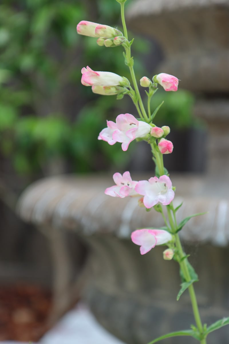 Penstemon Gloxinioides - Thorn