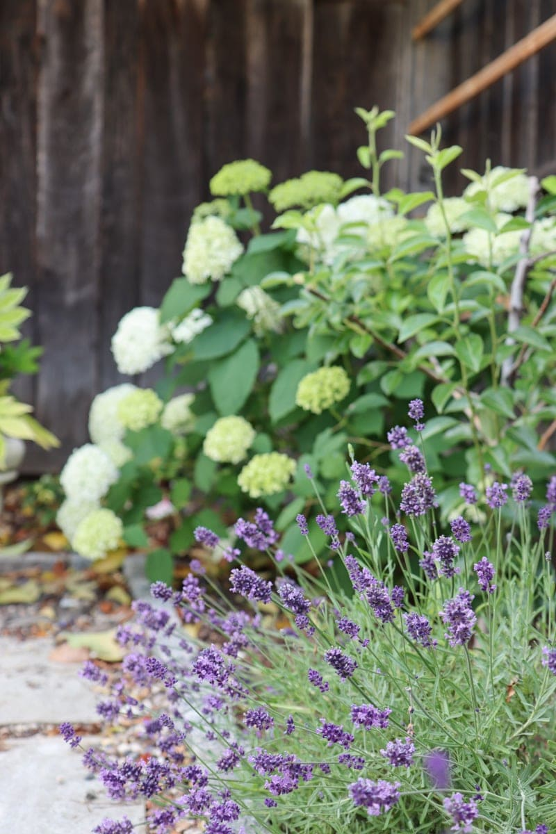 annabelle hydrangea and lavender plant in garden bed
