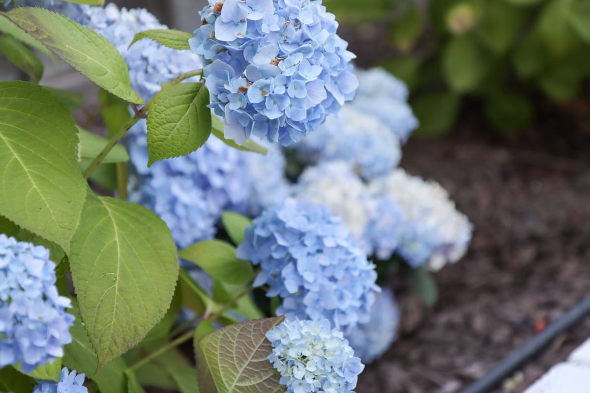 nikko blue hydrangeas in north california garden