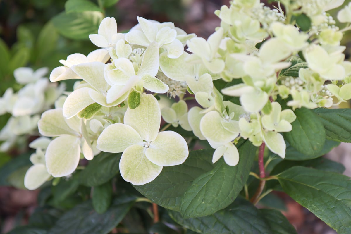 hydrangea white diamonds