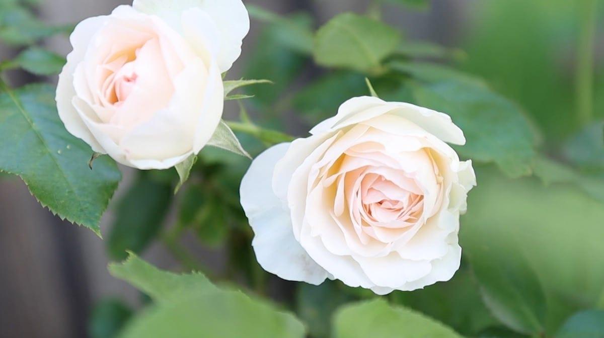 Climber Repeat Bloomer White Eden Rose