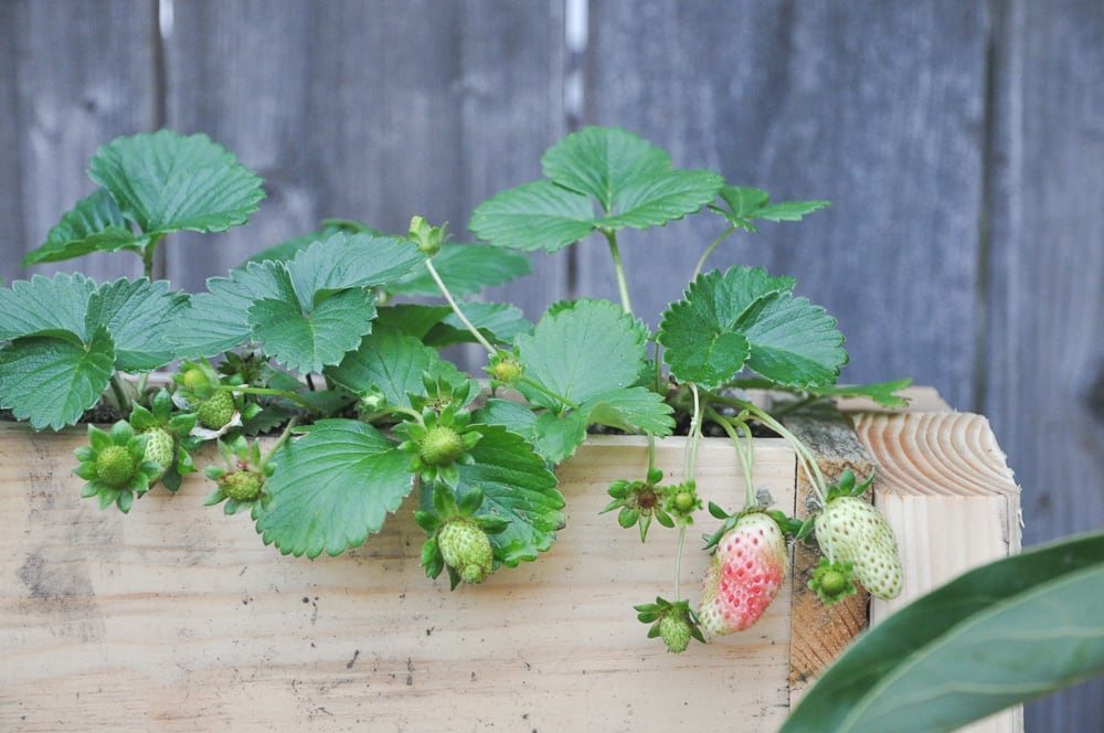 vertical strawberry planter box DIY project