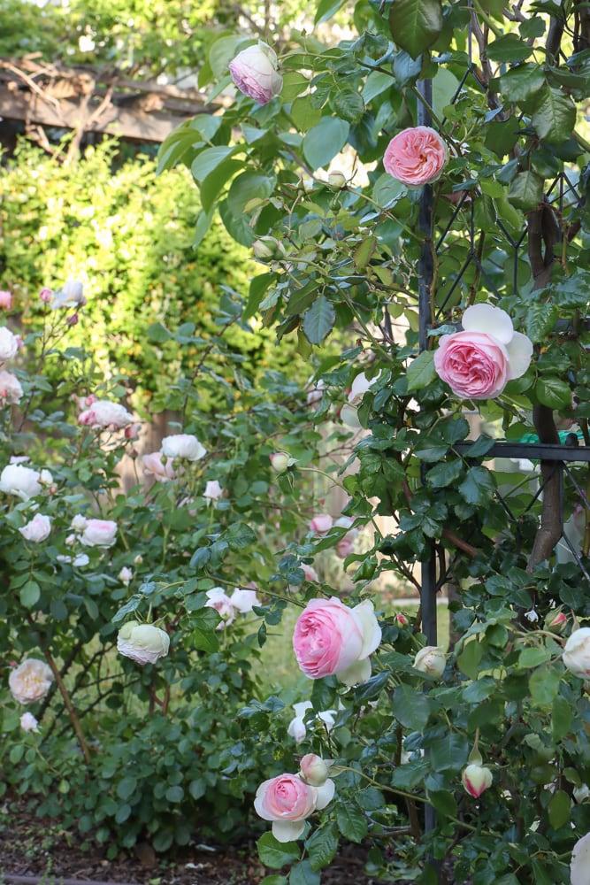 Bauerngarten altmodische Rosen