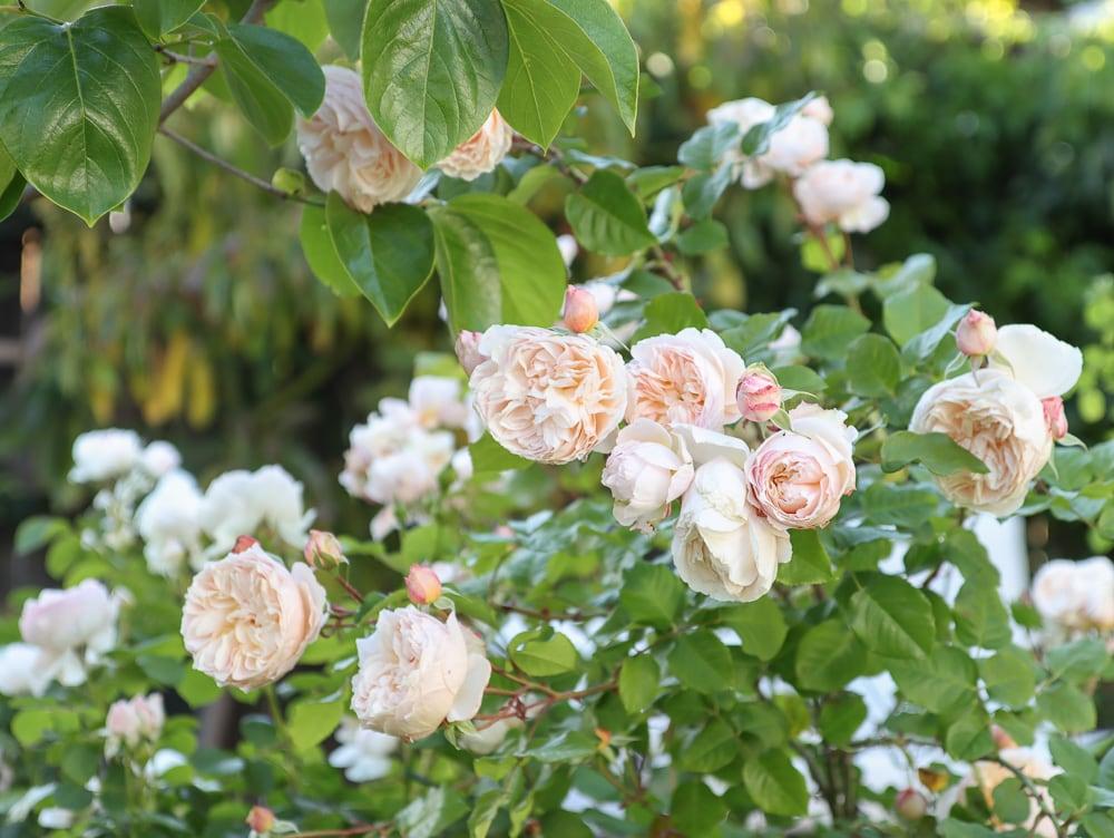 Mondlicht in Paris Apricot Rose dichte Blütenblätter
