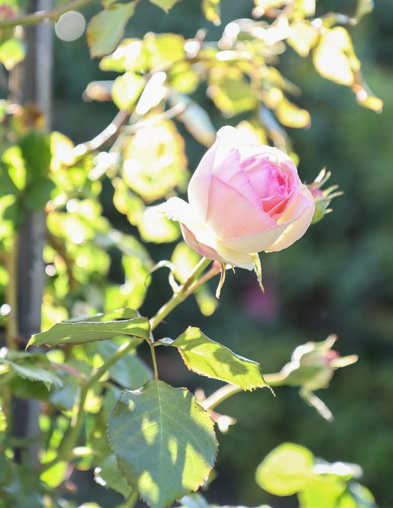 Rose Eden Climber Cottage Garden