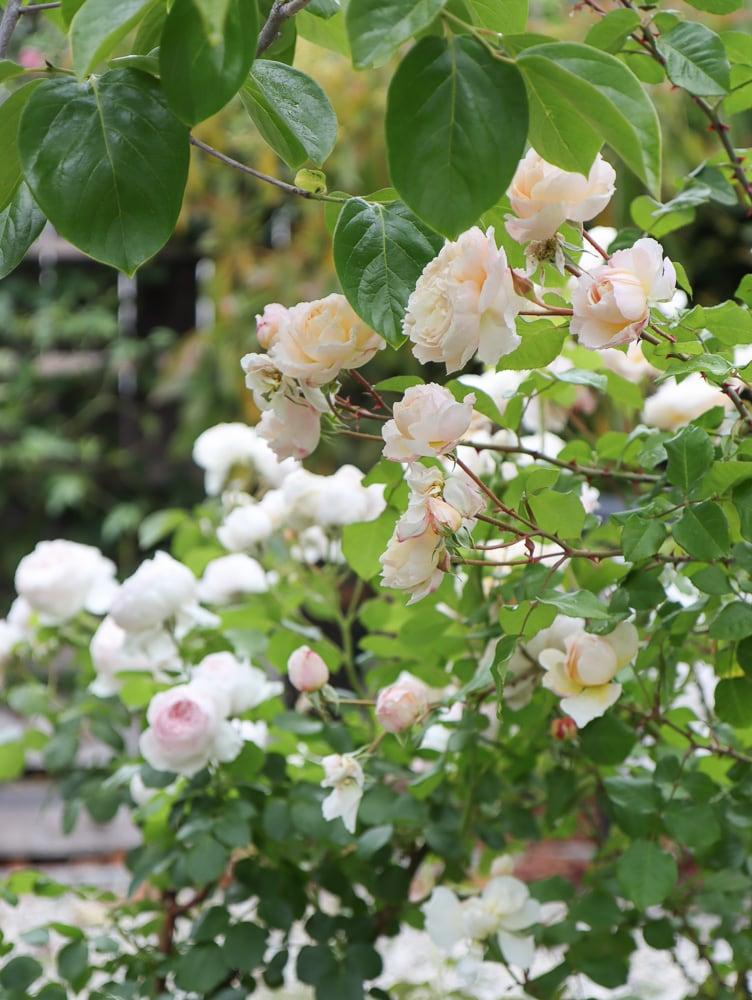 Bauerngarten pastellfarbene Rosensorten