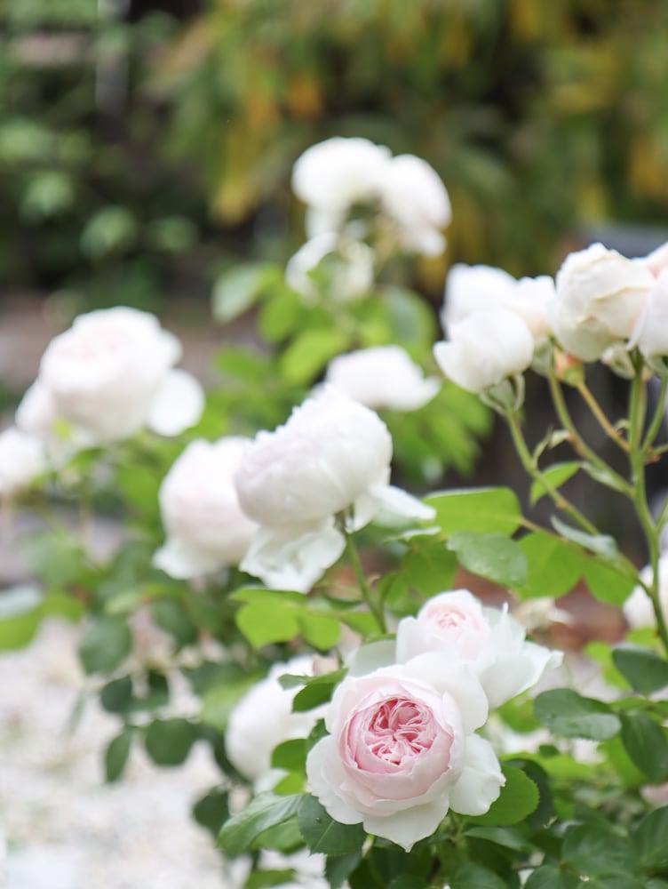Bauerngarten Rosen Erde Engel