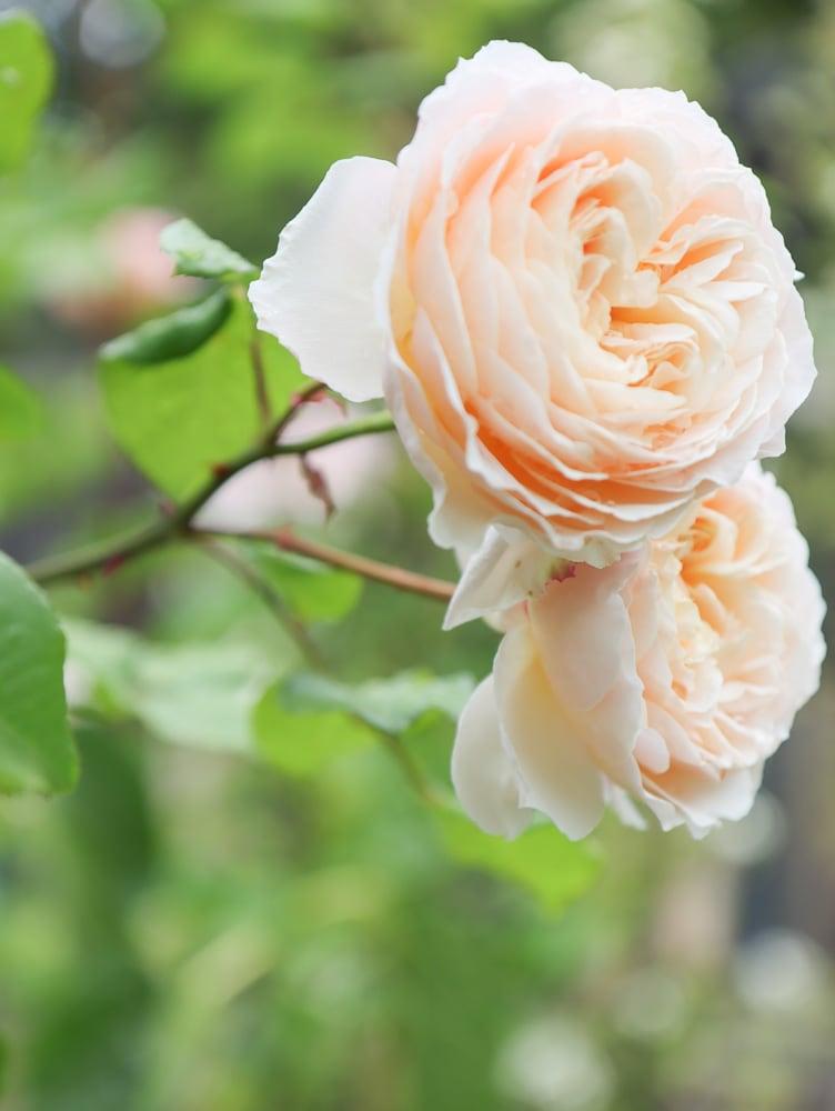 Aprikosengelbe Rose Mondlicht in Paris Cottage Garden Rose