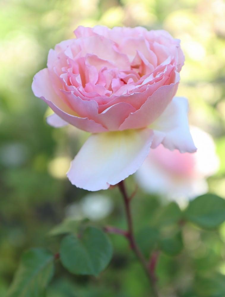Prinzen charlene de monaco rose