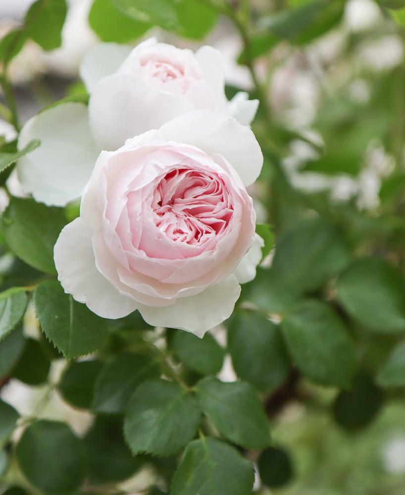 erde engel altmodisch rose