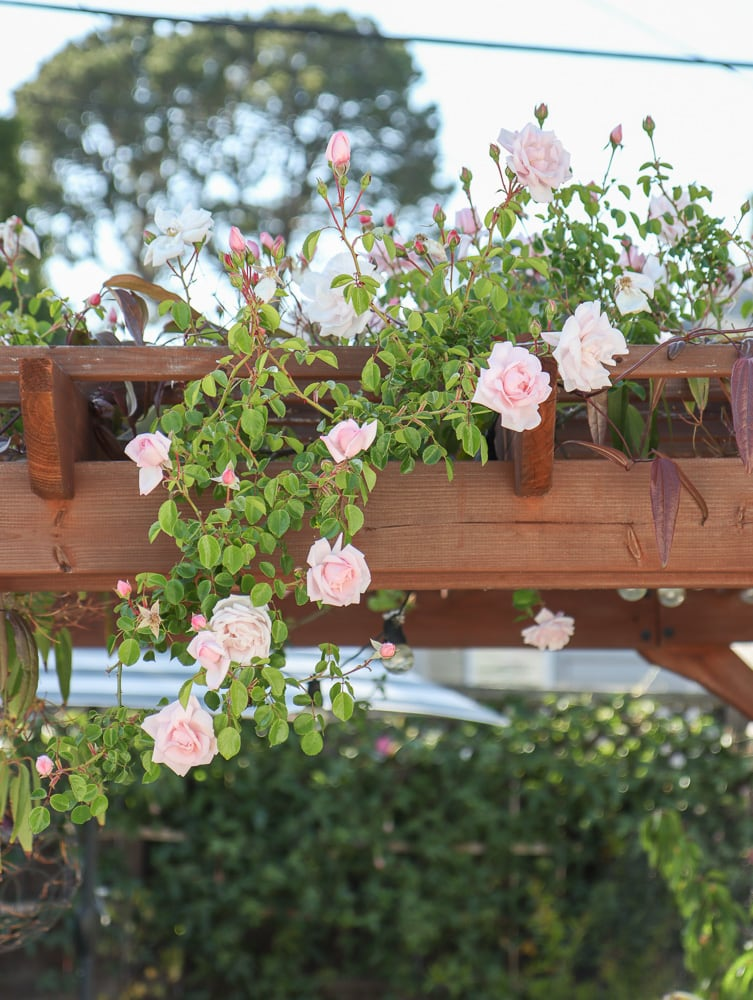 New Dawn Rose Climber auf Pergola