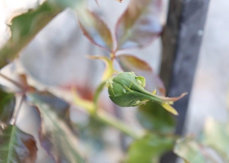 Blattlaus auf Rosenknospe